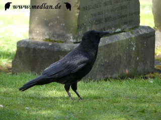 Rabe am Friedhof